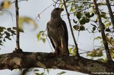Graubussard (Buteo plagiatus) im Nationalpark Carara, Costa Rica