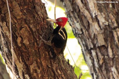 Königspecht (Campephilus guatemalensis guatemalensis)