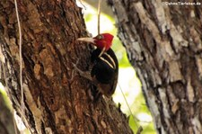 Königspecht (Campephilus guatemalensis guatemalensis) im Nationalpark Carara, Costa Rica