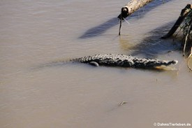 Spitzkrokodil (Crocodylus acutus) am Rio Tárcoles