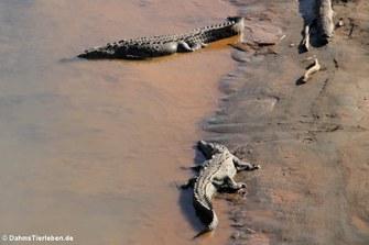 Spitzkrokodile (Crocodylus acutus) am Rio Tárcoles