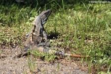 Schwarzer Leguan (Ctenosaura similis) im Nationalpark Carara