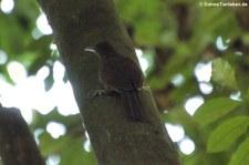 Rostkappen-Baumsteiger (Dendrocincla homochroa acedesta) im Nationalpark Carara, Costa Rica