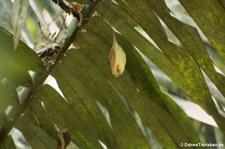 Weiße Fledermaus oder Gelbohrfledermaus (Ectophylla alba) im Nationalpark Carara, Costa Rica