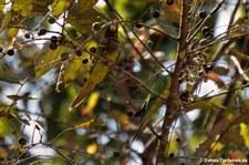Elfenbeinsittiche (Eupsittula canicularis canicularis) im Nationalpark Carara, Costa Rica