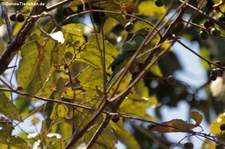 Elfenbeinsittich (Eupsittula canicularis canicularis) im Nationalpark Carara, Costa Rica