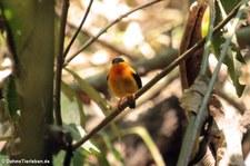 Orangebandpipra (Manacus aurantiacus) im Nationalpark Carara, Costa Rica