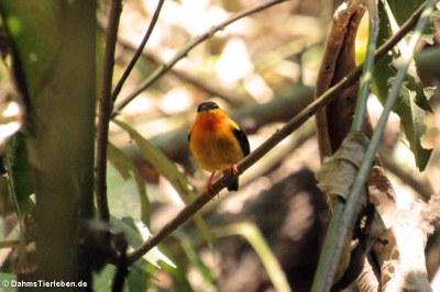 Orangebandpipra (Manacus aurantiacus)