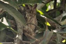 Mangrovekreischeule (Megascops cooperi cooperi) im Nationalpark Carara, Costa Rica