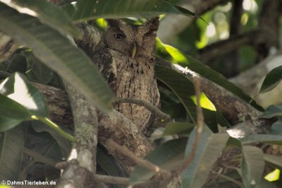 Mangrovekreischeule (Megascops cooperi cooperi)