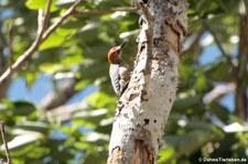 Hoffmannspecht (Melanerpes hoffmannii) im Nationalpark Carara, Costa Rica