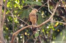 Gelbkopfkarakara (Milvago chimachima cordata) im Nationalpark Carara, Costa Rica