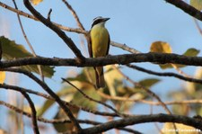 Schwefelmaskentyrann (Pitangus sulphuratus guatimalensis) im Nationalpark Carara, Costa Rica