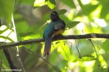 männlicher Schwarzkehltrogon (Trogon rufus tenellus) im Nationalpark Carara, Costa Rica