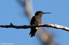 unbekannter Kolibri aus San José, Costa Rica