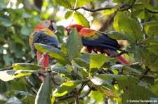 Hellroter Ara (Ara macao macao) im Nationalpark Corcoverde, Costa Rica