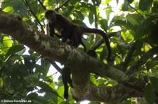Geoffroy-Klammeraffe (Ateles geoffroyi) im Nationalpark Corcovado, Costa Rica