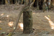 Helmbasilisk (Basiliscus basiliscus) im Nationalpark Corcovado, Costa Rica
