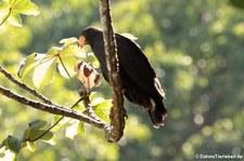 Krabbenbussard (Buteogallus anthracinus anthracinus) im Nationalpark Corcovado, Costa Rica