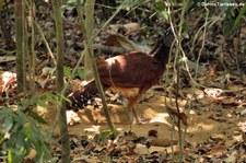 Weiblicher Tuberkelhokko (Crax rubra rubra) im Nationalpark Corcovado, Costa Rica