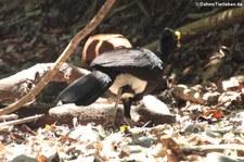 Männlicher Tuberkelhokko (Crax rubra rubra) im Nationalpark Corcovado, Costa Rica