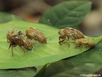 Exuvien (Larvenhäute) von Zikaden