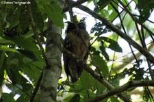 Haubenkauz (Lophostrix cristata) im Nationalpark Corcovado, Costa Rica