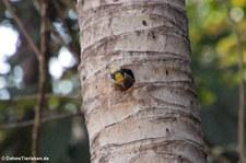 Buntkopfspecht (Melanerpes chrysauchen) im Nationalpark Corcovado, Costa Rica