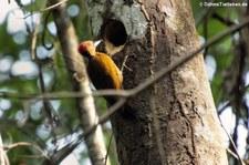 Zimtflügelspecht (Piculus simplex) im Nationalpark Corcovado, Costa Rica