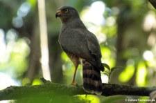 Wegebussard (Rupornis magnirostris griseocauda) im Nationalpark Corcovado, Costa Rica
