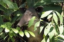 Mittelamerikanischer Tapir (Tapirus bairdii) im Nationalpark Corcovado