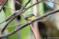Graugelber-Todityrann (Todirostrum cinereum wetmorei) im Nationalpark Corcovado, Costa Rica