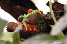 Rotaugenlaubfrosch (Agalychnis callidryas) in Costa Rica