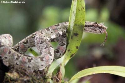 Greifschwanz-Lanzenotter (Bothriechis schlegelii)