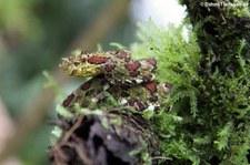 Greifschwanz-Lanzenotter (Bothriechis schlegelii) im Arenal Eco Zoo, Costa Rica