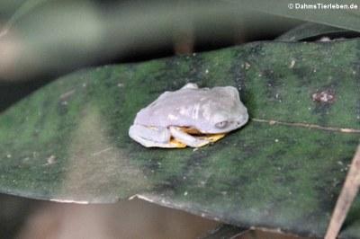 Granular-Glasfrosch (Cochranella granulosa)