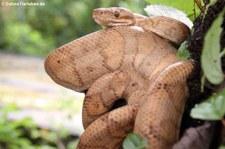 Ringelboa (Corallus annulatus) im Arenal Eco Zoo, Costa Rica