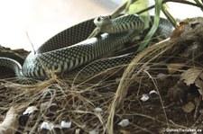 Drymobius margaritiferus (Perlnatter) im Arenal Eco Zoo, Costa Rica