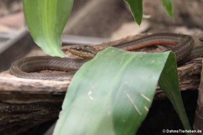 Mastigodryas melanolomus