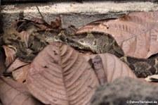 Mittelamerikanische Springlanzenotter (Metlapilcoatlus mexicanus) im Arenal Eco Zoo, Costa Rica