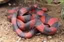 Oxyrhopus petolarius