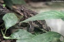 Blattlaubfall-Kröte (Rhaebo haematiticus) im Arenal EcoZoo, Costa Rica