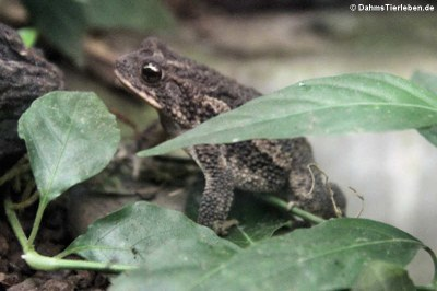 Blattlaubfall-Kröte (Rhaebo haematiticus)