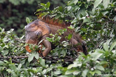 Grüner Leguan in Costa Rica