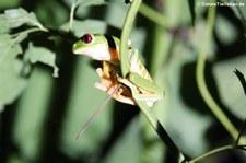 Rotaugenlaubfrosch (Agalychnis callidryas) im Rainmaker Mountains' Rainforest, Costa Rica