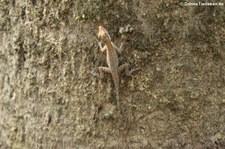 Anolis limifrons im Nationalpark Manuel Antonio, Costa Rica