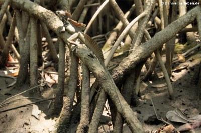Helmbasilisk (Basiliscus basiliscus)