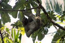 Braunkehl-Faultier (Bradypus variegatus) im Nationalpark Manuel Antonio, Costa Rica