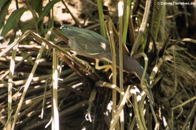 Grünreiher (Butorides virescens virescens)