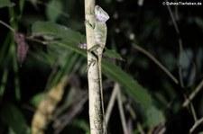 Helmleguan (Corytophanes cristatus) im Rainmaker Mountains' Rainforest, Costa Rica